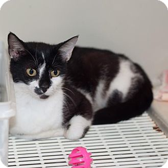 Domestic Shorthair Cat for adoption in New Martinsville, West Virginia - Sleepy