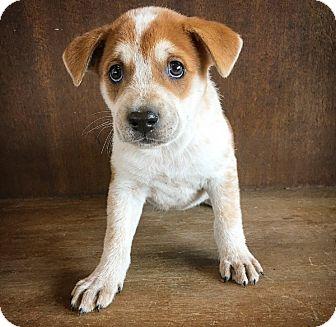 Shepherd (Unknown Type) Mix Puppy for adoption in Fredericksburg, Texas - Clover