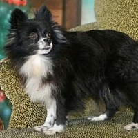 Pomeranian Dog for adoption in Dallas, Texas - Jona