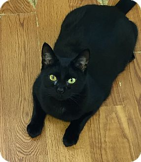 Domestic Shorthair Kitten for adoption in Greensburg, Pennsylvania - Sally