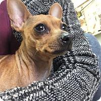 Adopt A Pet :: Mitzi - Manhattan, KS