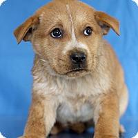 Adopt A Pet :: Penny - Waldorf, MD