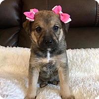 Adopt A Pet :: Elizabeth - New York, NY