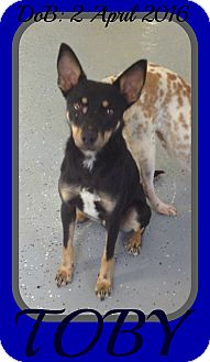 Miniature Pinscher/Australian Kelpie Mix Dog for adoption in Jersey City, New Jersey - TOBY