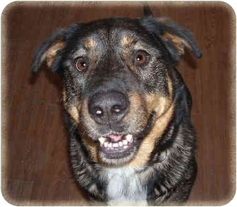 Rottweiler/Shepherd (Unknown Type) Mix Dog for adoption in Howell, Michigan - Dar