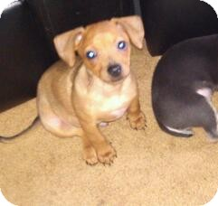 Chihuahua Mix Puppy for adoption in Hilliard, Ohio - Moose