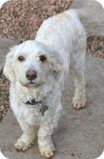 Poodle (Miniature)/Lhasa Apso Mix Dog for adoption in Norwalk, Connecticut - Randy - adoption pending