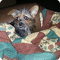Adopt A Pet :: Itsy Bitsy - Bowie, TX
