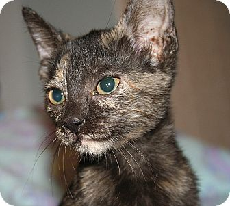 Domestic Shorthair Kitten for adoption in Tampa, Florida - Duchess