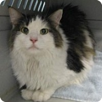 Adopt A Pet :: Sneaky - McHenry, IL