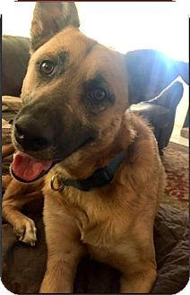 German Shepherd Dog/Collie Mix Dog for adoption in San Antonio, Texas - Zeke