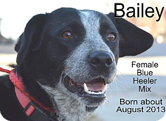 Blue Heeler Mix Dog for adoption in Richmond, Missouri - Bailey