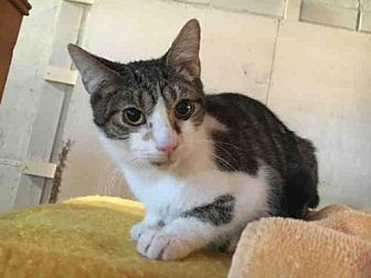 Domestic Mediumhair Cat for adoption in Canfield, Ohio - ABBOTT