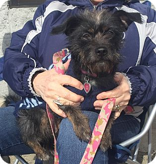 Schnauzer (Miniature)/Terrier (Unknown Type, Small) Mix Dog for adoption in Trenton, New Jersey - Luna