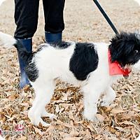 Adopt A Pet :: Briar - Muldrow, OK