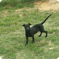 Labrador Retriever Mix Puppy for adoption in Livingston, Texas - Rhonda