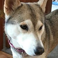 Adopt A Pet :: Clover - Colorado Springs, CO