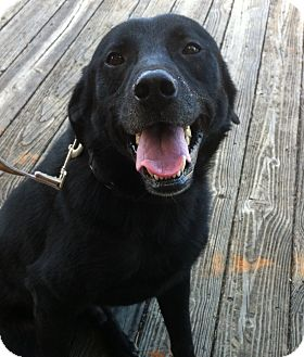 Labrador Retriever Mix Dog for adoption in Manchester, New Hampshire - Charlie