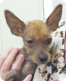 Yorkie, Yorkshire Terrier/Chinese Crested Mix Dog for adoption in Orlando, Florida - Tilly