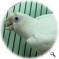 Adopt A Pet :: Boogie - Red Oak, TX