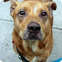 Adopt A Pet :: Yoda - Tinton Falls, NJ
