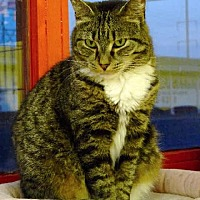 Domestic Shorthair Cat for adoption in Penndel, Pennsylvania - Gracie