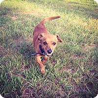 Adopt A Pet :: Blu - Fort Valley, GA