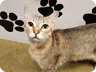 Domestic Shorthair Cat for adoption in Smithfield, North Carolina - Ezra SPECIAL ADOPTION FEE