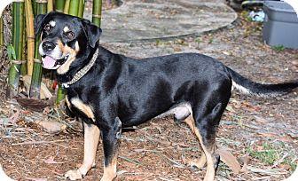 Labrador Retriever/Rottweiler Mix Dog for adoption in Edgewater, New Jersey - Nemo ADOPTION PENDING