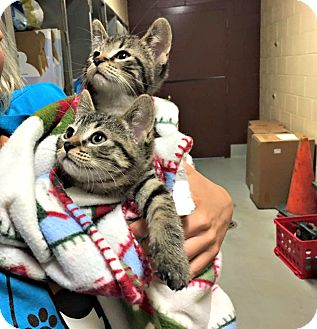 Domestic Shorthair Kitten for adoption in Flint, Michigan - Pip