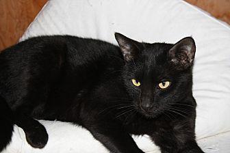 Bombay Cat for adoption in Rawlins, Wyoming - Sawyer