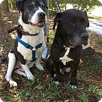 Labrador Retriever/Mixed Breed (Medium) Mix Dog for adoption in Jacksonville, Florida - Duke