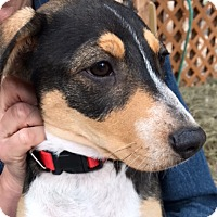 Shepherd (Unknown Type) Mix Puppy for adoption in Fort Collins, Colorado - Tibby