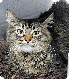 Domestic Longhair Cat for adoption in Topeka, Kansas - Chipmunk