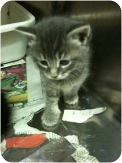 Domestic Shorthair Kitten for adoption in New Egypt, New Jersey - Honey Bear