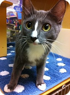 Domestic Shorthair Cat for adoption in Houston, Texas - Dee Dee