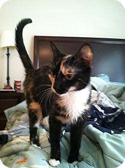 Domestic Shorthair Cat for adoption in Monroe, Georgia - Jewel