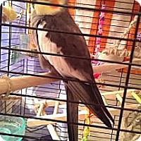Adopt A Pet :: Shadow - Lenexa, KS