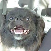 Adopt A Pet :: Romie - Davie, FL