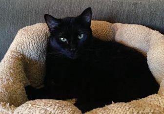 Domestic Shorthair Cat for adoption in Houston, Texas - Charlotte