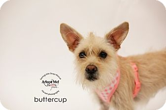 Terrier (Unknown Type, Small) Mix Puppy for adoption in Aqua Dulce, California - Butter
