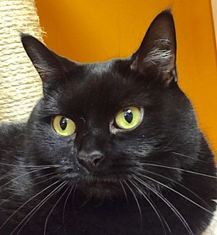 Domestic Shorthair Cat for adoption in Norwalk, Connecticut - Lucy