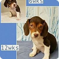 Adopt A Pet :: Grady-pending adoption - Manchester, CT