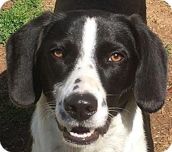 Border Collie/Labrador Retriever Mix Puppy for adoption in Lexington, Kentucky - Gunner