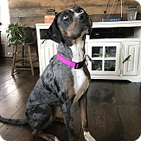 Catahoula Leopard Dog Dog for adoption in Warren, Maine - Georgia - NH