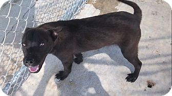 Husky/Labrador Retriever Mix Puppy for adoption in Groton, Massachusetts - Baxter