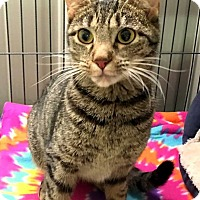 Domestic Shorthair Kitten for adoption in Mooresville, North Carolina - ASHER