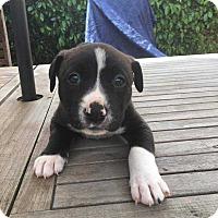 Adopt A Pet :: Luna - Livermore, CA
