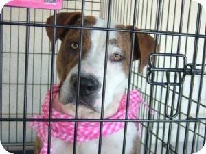 American Bulldog/Pit Bull Terrier Mix Dog for adoption in Las Vegas, Nevada - Dee Dee