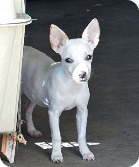Chihuahua Puppy for adoption in Ormond Beach, Florida - Mary & Kay
